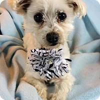 Maltese Dog for adoption in Cottonwood, Arizona - Prince