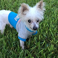 Maltese/Poodle (Toy or Tea Cup) Mix Dog for adoption in Pompano Beach, Florida - Dean