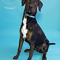 Adopt A Pet :: Wisdom - New Milford, CT