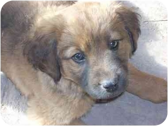 German Shepherd Dog Mix Dog for adoption in Santa Fe, New Mexico - Benny