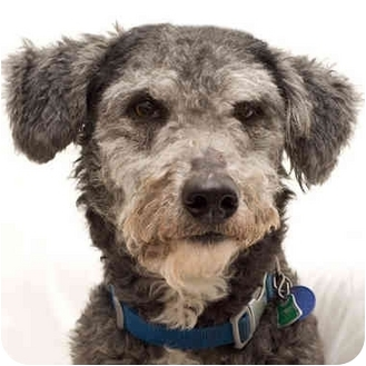 Schnauzer (Miniature) Mix Dog for adoption in Westfield, New York - Grigio