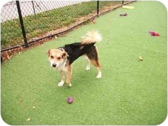 Border Collie/Australian Shepherd Mix Dog for adoption in Worcester, Massachusetts - Trevor
