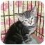 Photo 2 - Domestic Shorthair Kitten for adoption in Colmar, Pennsylvania - Moonlight