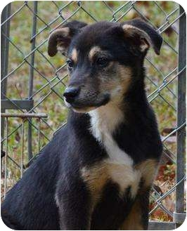 Shepherd (Unknown Type)/Cattle Dog Mix Puppy for adoption in New Boston, New Hampshire - Nicky