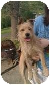 Cairn Terrier Mix Dog for adoption in Foster, Rhode Island - Umee