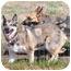 Photo 2 - German Shepherd Dog/Husky Mix Dog for adoption in Hamilton, Montana - Solo