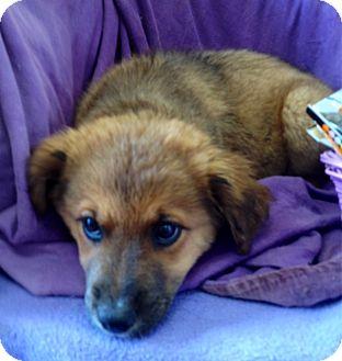 Australian Shepherd/Collie Mix Dog for adoption in Lancaster, Kentucky - Addie