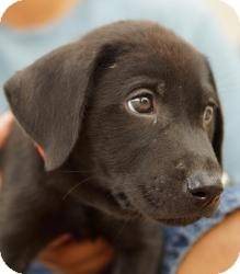 Labrador Retriever Mix Puppy for adoption in Houston, Texas - loverboy (4 obedient puppies!)
