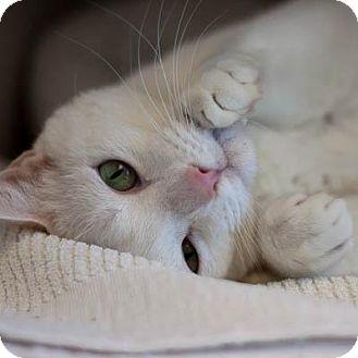 Domestic Shorthair Cat for adoption in Denver, Colorado - Zara
