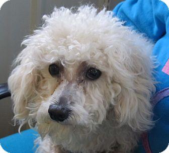 Bichon Frise/Poodle (Standard) Mix Dog for adoption in Marseilles, Illinois - Casper