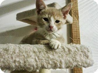 Domestic Shorthair Kitten for adoption in Trevose, Pennsylvania - Bentley