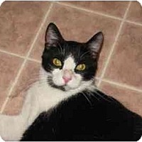 Domestic Shorthair Cat for adoption in San Jose, California - Paulie