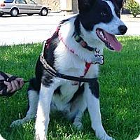 Adopt A Pet :: Nellie-Joy smart as a whip - Sacramento, CA