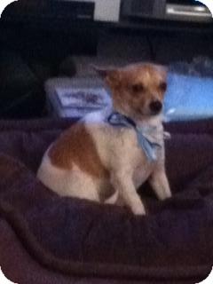 Chihuahua/Chihuahua Mix Dog for adoption in Seattle, Washington - Buddy