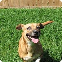 Beagle/Pug Mix Dog for adoption in Godfrey, Illinois - Mazda
