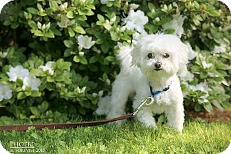 Maltese Mix Dog for adoption in Portland, Oregon - Phoebe