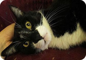 Domestic Shorthair Cat for adoption in Lloydminster, Alberta - Puffin
