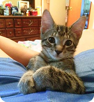 Domestic Shorthair Kitten for adoption in Lombard, Illinois - Duffy