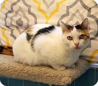 Domestic Shorthair Cat for adoption in Knoxville, Tennessee - Annie