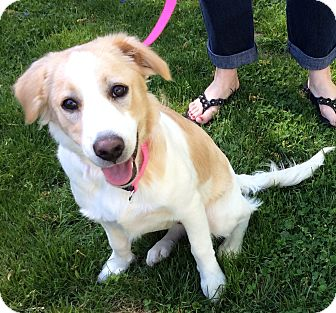 Collie Mix Dog for adoption in New Oxford, Pennsylvania - Jingles