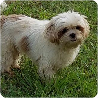 Shih Tzu Mix Dog for adoption in San Antonio, Texas - Chelsea