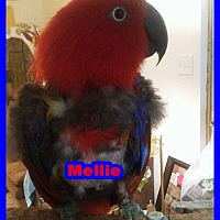 Eclectus for adoption in Tampa, Florida - Mellie