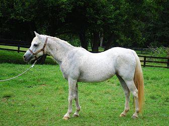 Arabian Mix for adoption in Lovettsville, Virginia - Arabella
