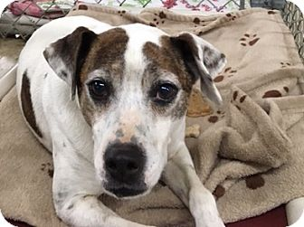 Parson Russell Terrier Mix Dog for adoption in Huntsville, Alabama - Tres