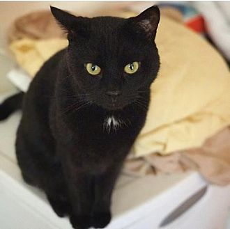 Domestic Shorthair Cat for adoption in Rockaway, New Jersey - XP Harker