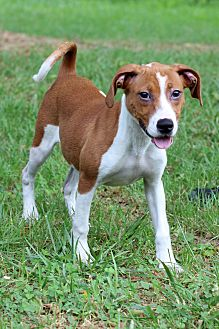 Basset Hound Mix Puppy for adoption in Waldorf, Maryland - Kalista