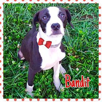 Pit Bull Terrier Mix Dog for adoption in Jasper, Indiana - Bandit
