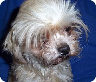 Maltese Dog for adoption in Anderson, South Carolina - Molly