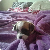 Adopt A Pet :: Bella - Antioch, CA