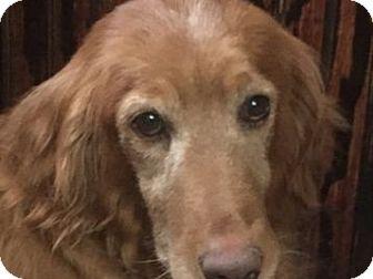 Golden Retriever Dog for adoption in Denver, Colorado - Shadow