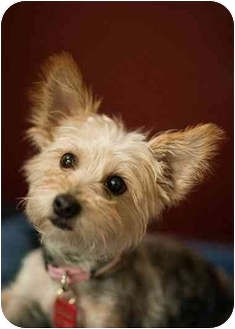 Yorkie, Yorkshire Terrier Mix Dog for adoption in Ile-Perrot, Quebec - JOY