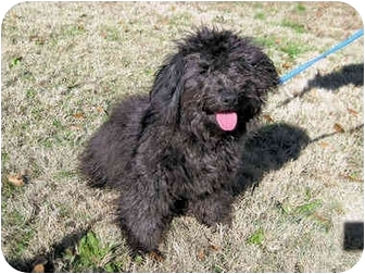 Poodle (Miniature) Mix Puppy for adoption in Mahwah, New Jersey - Hendrix