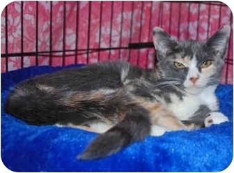 Calico Kitten for adoption in Colmar, Pennsylvania - Muffin