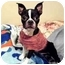 Photo 1 - Boston Terrier/Chihuahua Mix Dog for adoption in Westampton, New Jersey - Geno-KISSYFACE