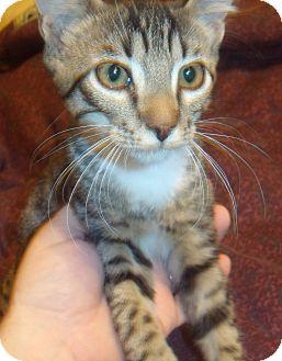 Domestic Shorthair Kitten for adoption in Porter, Texas - Binks