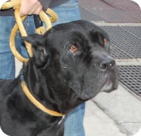 Cane Corso Mix Dog for adoption in Brooklyn, New York - Harmony