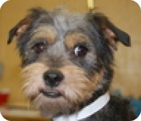 Yorkie, Yorkshire Terrier Mix Dog for adoption in North Benton, Ohio - Elvis