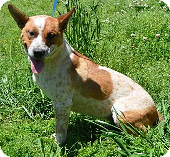 Blue Heeler Mix Dog for adoption in Hagerstown, Maryland - Catalina (reduced $350)