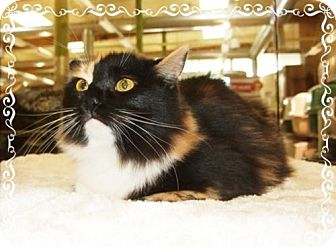 Calico Cat for adoption in Concord, California - REGGAE CONFIDENT LAID BACK SOFT