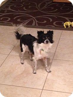 Papillon/Chihuahua Mix Dog for adoption in Las Vegas, Nevada - Fuzz