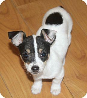 Chihuahua Mix Puppy for adoption in Bellflower, California - MaryJane