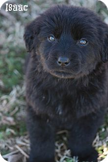 Labrador Retriever/Shepherd (Unknown Type) Mix Puppy for adoption in Cranford, New Jersey - ISAAC