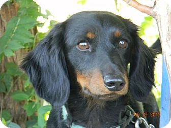 Dachshund Puppy for adoption in Chester, Illinois - Diego