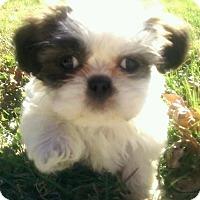 Adopt A Pet :: Shoney boy - Staunton, VA