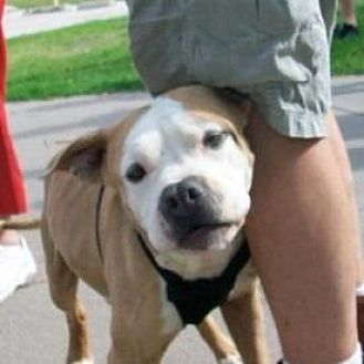 Staffordshire Bull Terrier Dog for adoption in McKinney, Texas - Keller