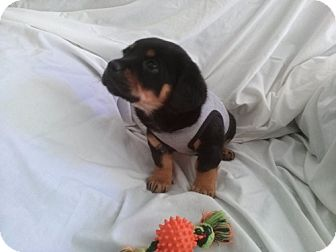 Rottweiler Mix Puppy for adoption in ST LOUIS, Missouri - Camden